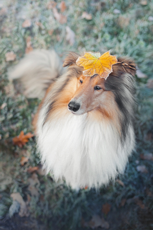 portrait of a collie dog with an autumn leaf on head sitting on the grass covered with hoarfrost