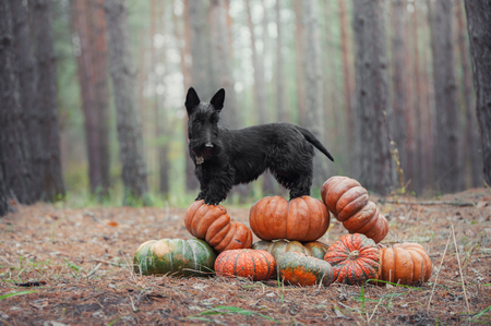 Black scotch terrier dog standing on a slide of pumpkins in among autumn trees