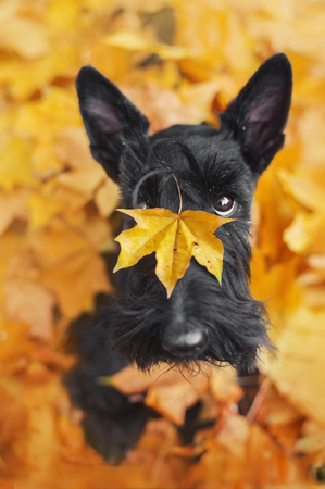 Black scotch terrier dog with leaf on the nose sitting in leaves in autumn park