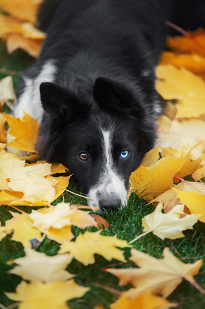 Border collie dog with brown and a blue eyes lying down in leaves