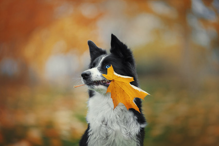 Portrait of cute border collie dog with blue and brown eyes holding autumn yellow leaf in her mouth Stock Photo