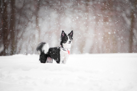 small black and white dog standing in the snow in the forest. side view with blurred background