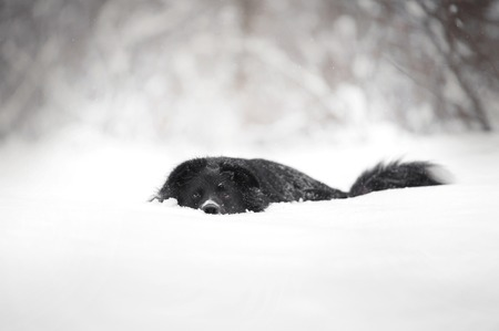 black and white border collie dog lying in snow. side view