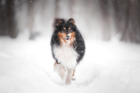 Frozen sheltie dog standing in snow in park with one rise paw. side view with blurred background Stock Photo