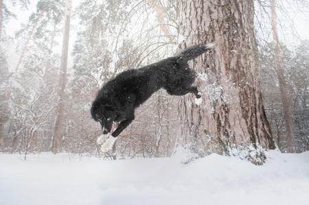 border collie dog make the trick in winter forest