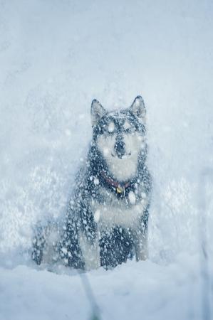 alaskan malamute dog sits and enjoys the snowfall. Front view Stock Photo
