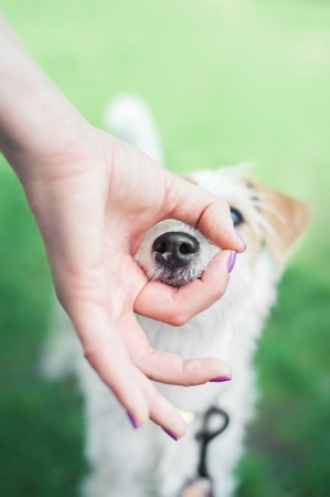 parson russell terrier puppy put his nose into OK fingers Stock Photo