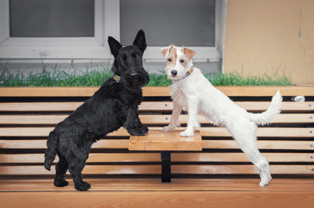 Two terrier dogs black and white stands on a cafe bench