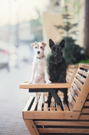 Two terrier dogs black and white stand with their paws on a wooden table in a cafe.