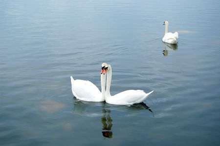 co cork: Swans love pictured in Co. Cork - Ireland Stock Photo