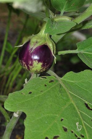 egg plant: berenjena p�rpura