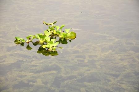 herba: duckweed floating in the lake titiwangsa kuala lumpur malaysia