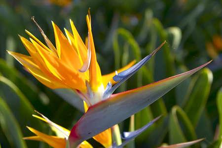 paradise  flower photo