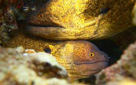 moray: close up photo of a red moray eel