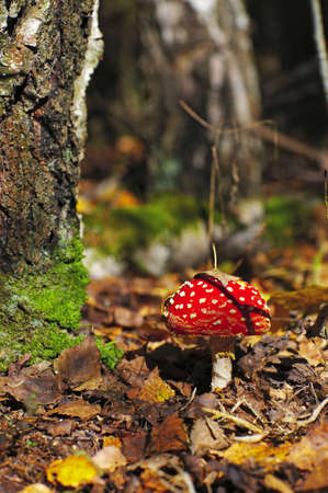 Fly-agaric in a autumn forest photo