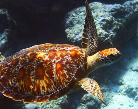 eilat: sea turtle is on an ocean bed