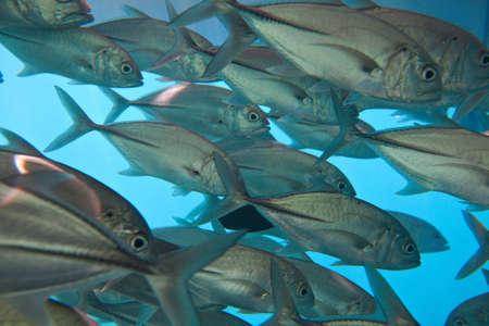 river fish: Big school of fish in an ocean