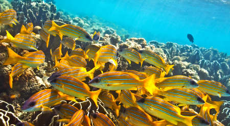 Big yellow school of fish in The Indian Ocean, Maldives Stock Photo - 13147944