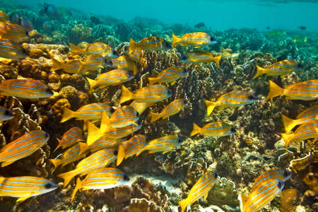 Big yellow school of fish in The Indian Ocean, Maldives photo