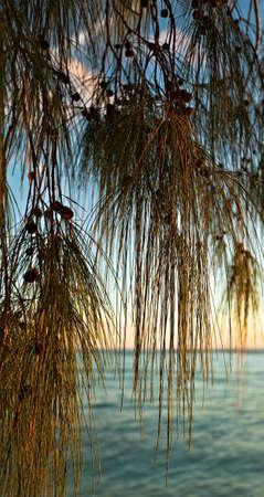 ladigue: Filao tree in beams of the sunset sun against an ocean