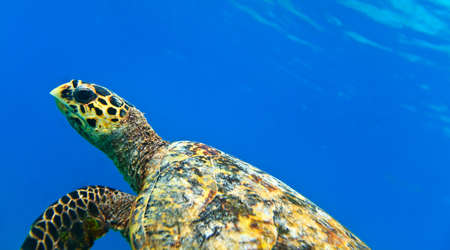 See turtle in The Indian Ocean, Maldives photo