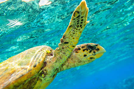 Sea turtle in The Indian Ocean, Maldives photo