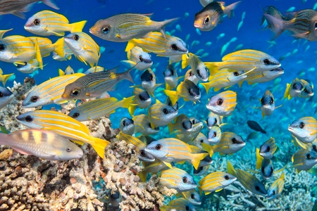 School of fish inThe Indian Ocean, Maldives Stock Photo