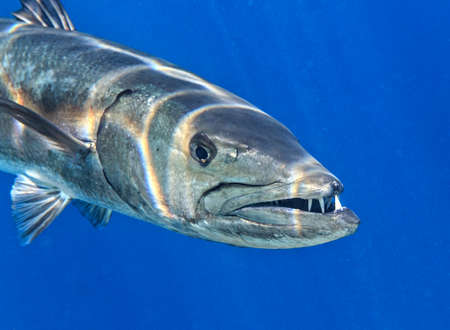 Barracuda is in The Indian Ocean, Maldives 스톡 콘텐츠