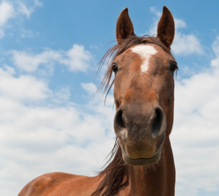 nostrils: Brown horse against blue cloudy sky