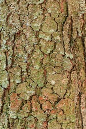 Texture bark tree