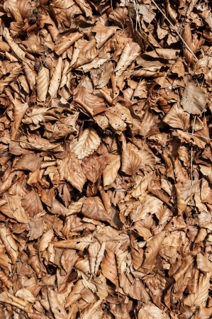 Texture dry leaves
