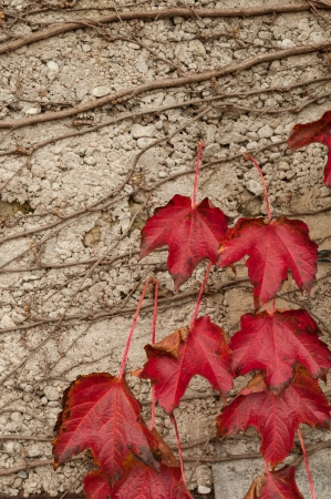 Texture red leaves on the wall Stock Photo