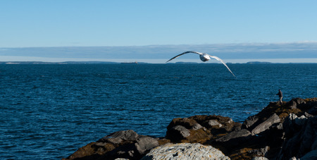Seagull flying over the rocks