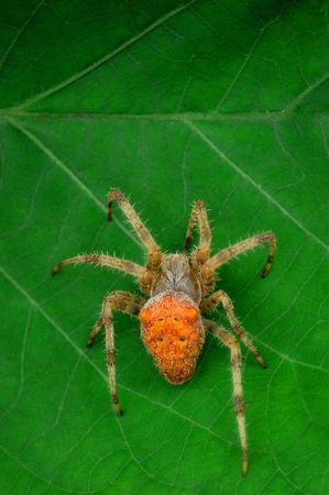 segmentata: Orange Spider on a leaf Stock Photo