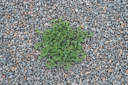 Alfalfa, clover that sprouts through a rubble stones to the surface. Large crushed stone for construction and repair work. Crushed stone scattered on the ground. Background, texture.