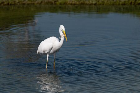 A Great Egret (Ardea alba), also kown as the Common Egret, is showing off a fish it just caught in the shallow waters of a lagoon. Banco de Imagens
