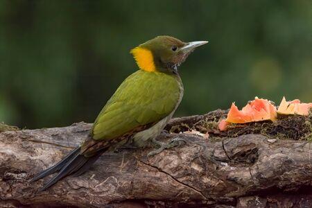 A female greater yellownape (Chrysophlegma flavinucha), perched on a tree log and feeding on some papaya. Stockfoto