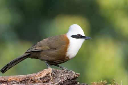 A White-crested laughingthrush (Garrulax leucolophus), perched on a wooden log, in the wild. Banco de Imagens