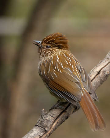 A gorgeous Striated Laughingthrush (Garrulax striatus), perched on a tree branch in the forests of Pangot in Uttarakhand, India. Banco de Imagens