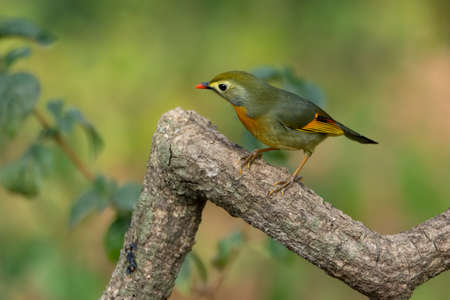 Cute little Red-billed Leiothrix (Leiothrix lutea), perched on a tree branch in the forests of Sattal in Uttarakhand, India.