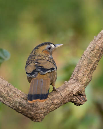 A beautiful Rufous-chinned Laughingthrush (Ianthocincla rufogularis), perched on a tree branch with its back-facing, in the wild forests of Sattal in Uttarakhand, India. Banco de Imagens