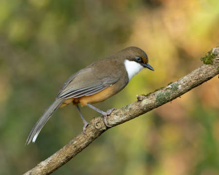 A White-throated Laughingthrush (Pterorhinus albogularis), perched on a tree branch in the forests of Sattal in Uttarakhand in India. Banco de Imagens