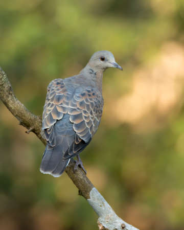 An attractive European Turtle Dove (Streptopelia turtur), perched on a tree branch with its back facing, in the forests of Sattal in Uttarakhand, India.