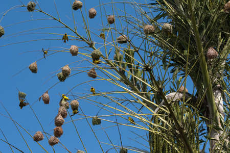 A large colony of Village Weaver (Ploceus cucullatus) nests built high-up on the top fronds of a palm tree in the wild on the island of Mauritius.