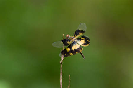 A beautiful female Common Picture Wing (Rhyothemis variegata) dragonfly, resting on a twig in the garden. Reklamní fotografie