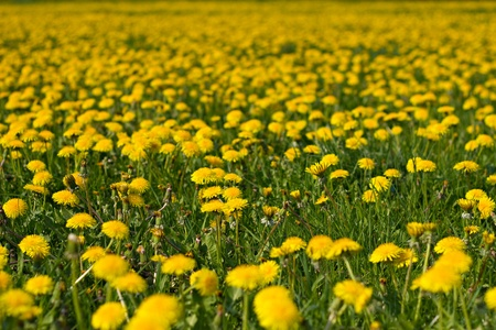 farbe: The picture shows dandelions on a meadow. Stock Photo