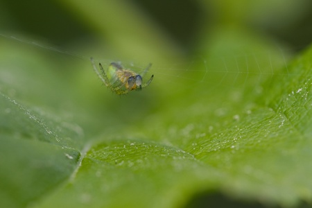 araniella: Cucumber green spider lurking for prey.