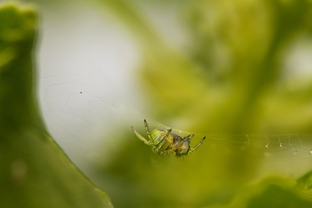 Cucumber green spider lurking for prey.