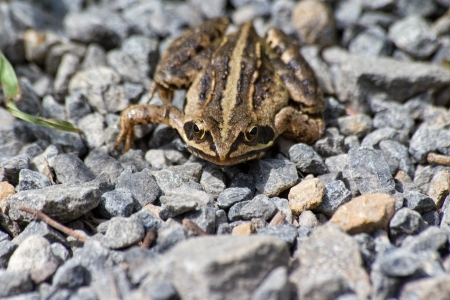 DaThe picture shows a moor frog. Stock Photo - 13992069