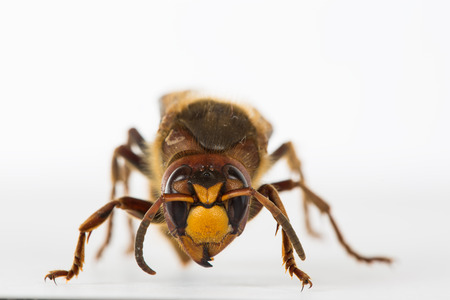 compound eyes: The picture shows a hornet in close-up.